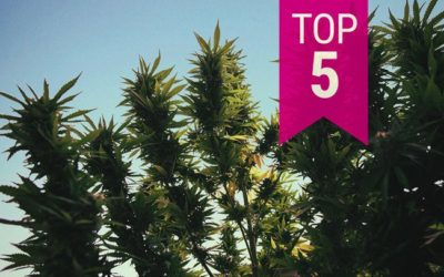 Top 5 Best outdoor Kush Weed strains to grow.